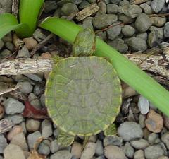 Our turtle friend, Pete